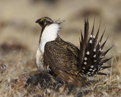 Greater Sage Grouse photo