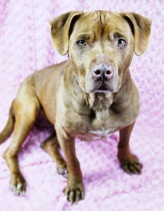 Shea Adoptable Dog