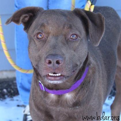 Hershey Adoptable Dog