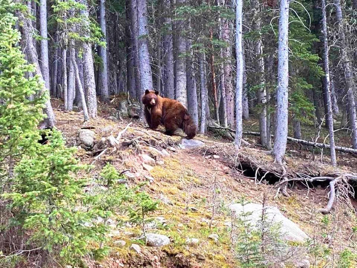 Look out for the bears on Cordova Pass