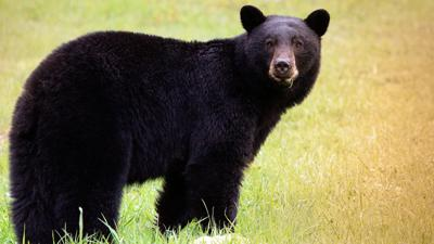 Raton man kills bear after attack, airlifted to NM hospital