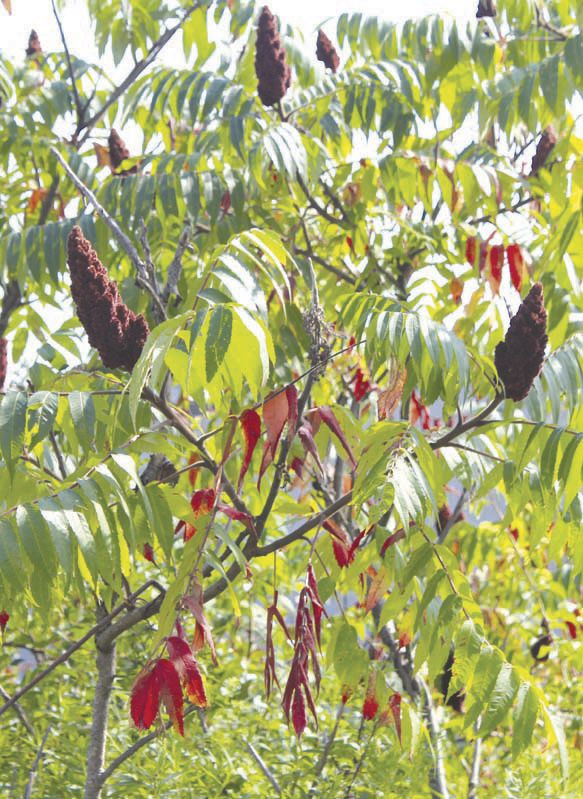 Pesky 'Tree of Heaven' popular with spotted lantern fly