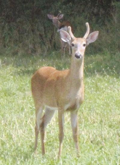 Game commission warns of deer TB