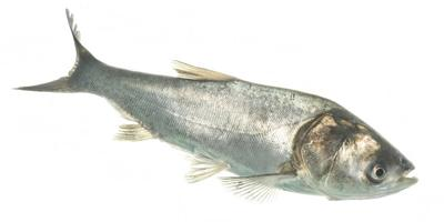 Invasive Silver Carp found in Texas waters