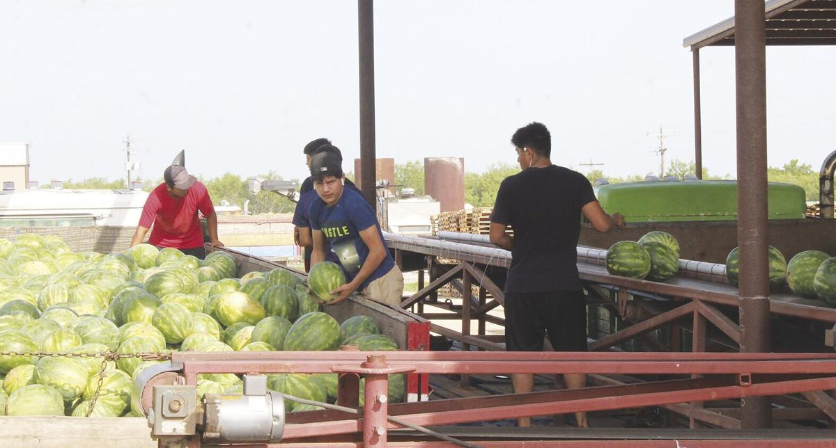 Melons being shipped from Stephens Farms Agriplex. .tif