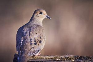 morning dove eating