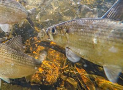 The Alewives Cometh