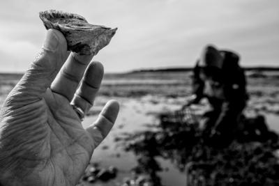 Oysters Coming to Essex