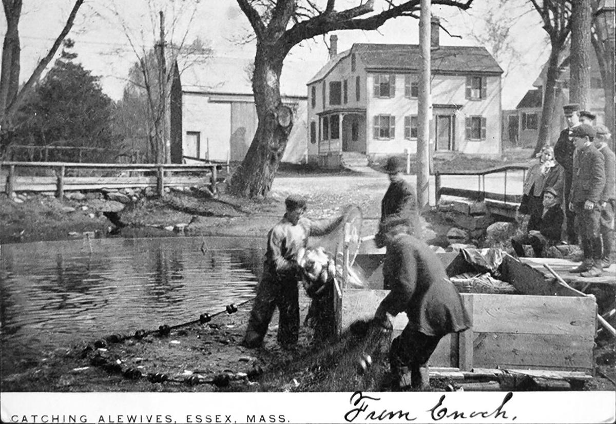 Historical Photo Catching Alewives