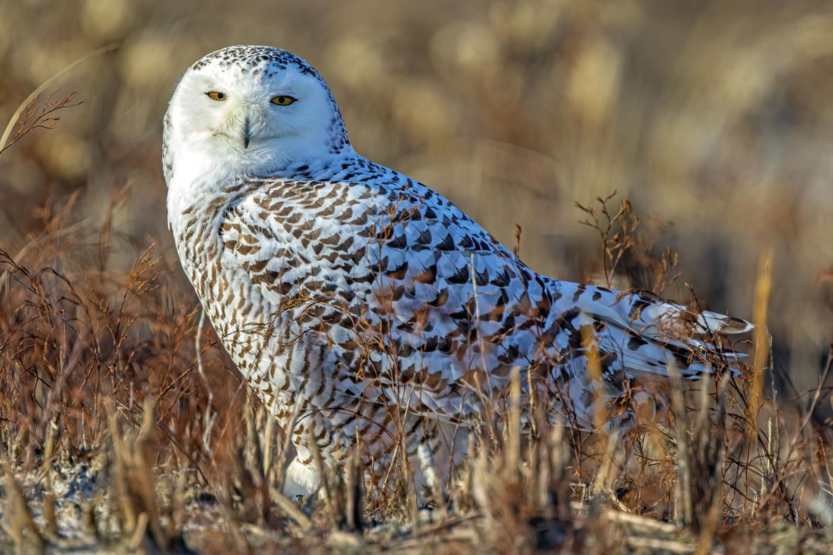 Snowy Owl 1