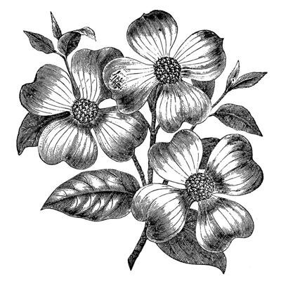 Dogwood Illustration