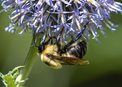 Let it Bee: Our Premier Pollinators
