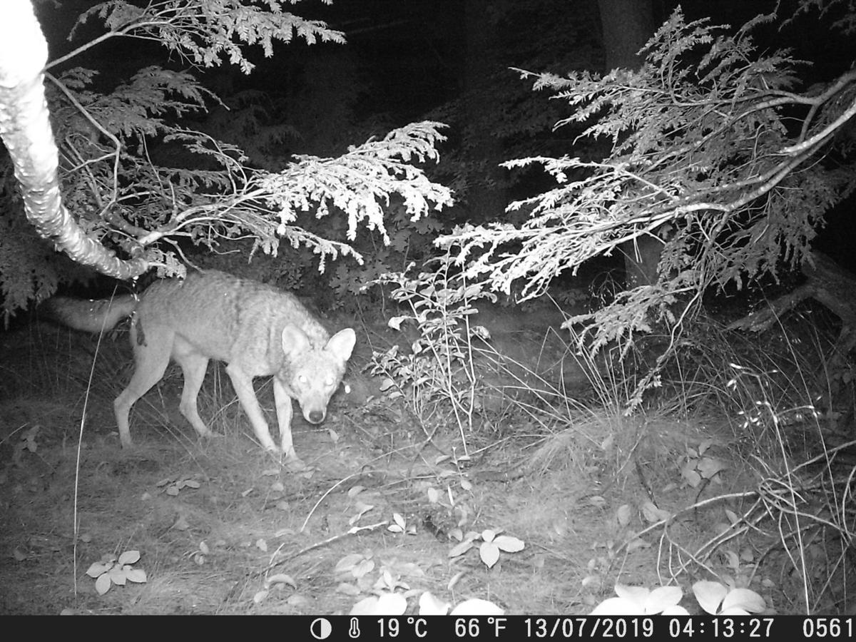 Coyotes_01944__DSCF0561.JPG