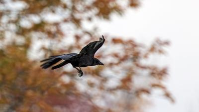 OUT AND ABOUT   |   The Unexpected Gifts Of Ravens And Crows