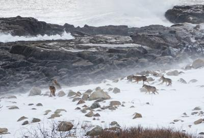 The Coyotes of Cape Ann