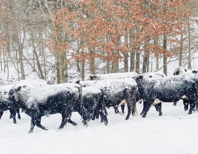 Snow-capped cows in Hickory Flat