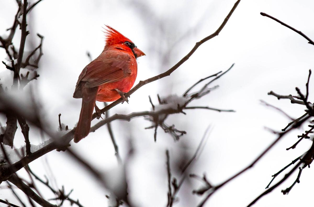 February a good time to count cardinals