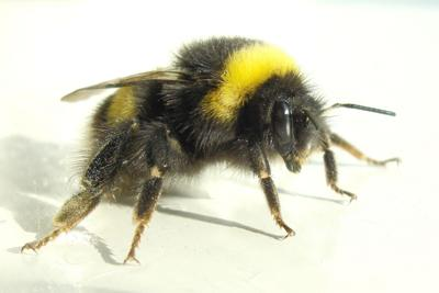 Bumblebees are master pollinators