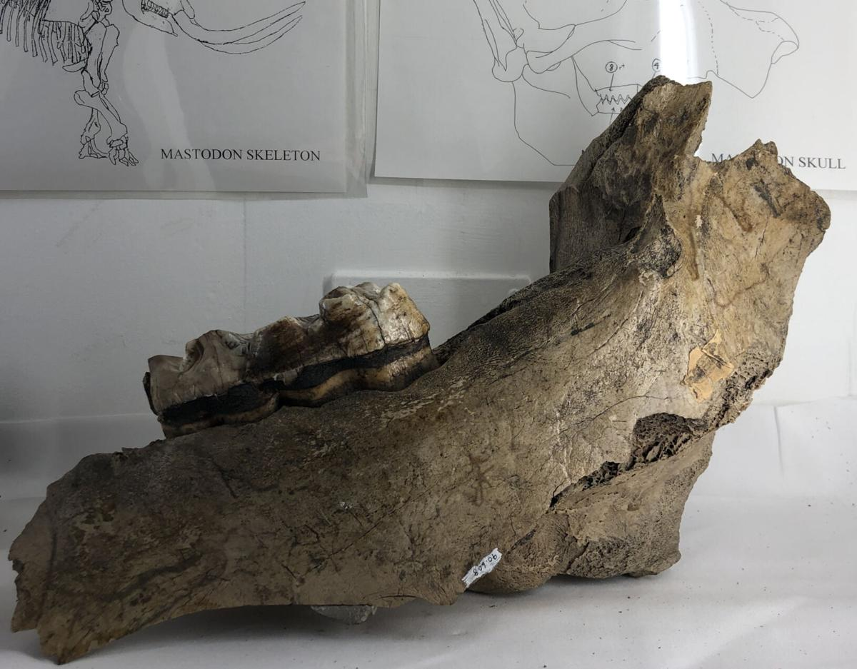 Unearthed mastodon bones have a home at museum
