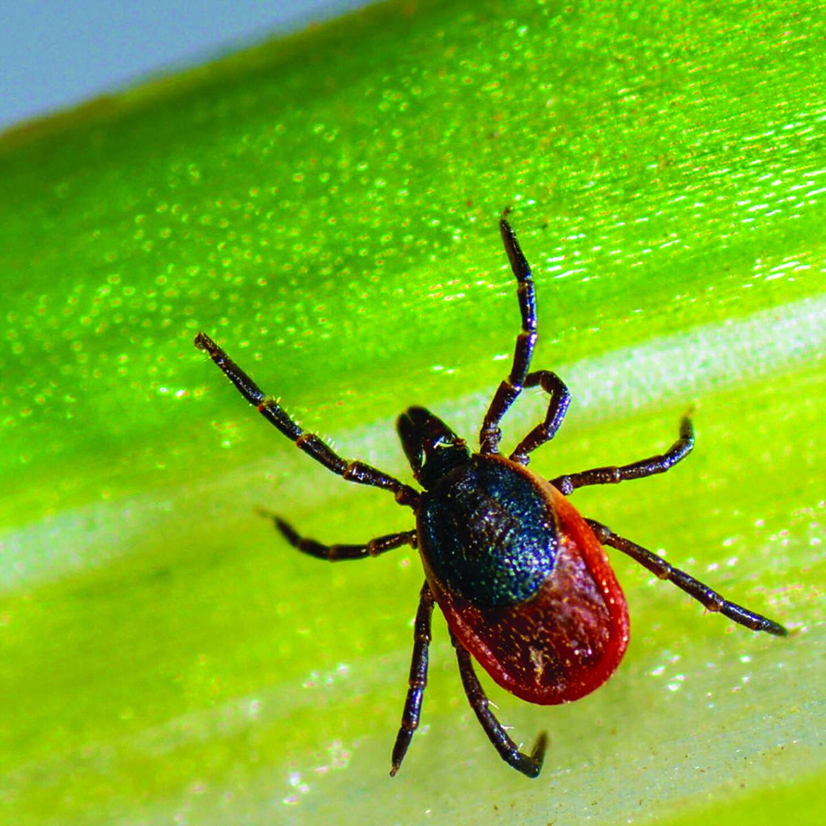 Fall is prime time for deer ticks