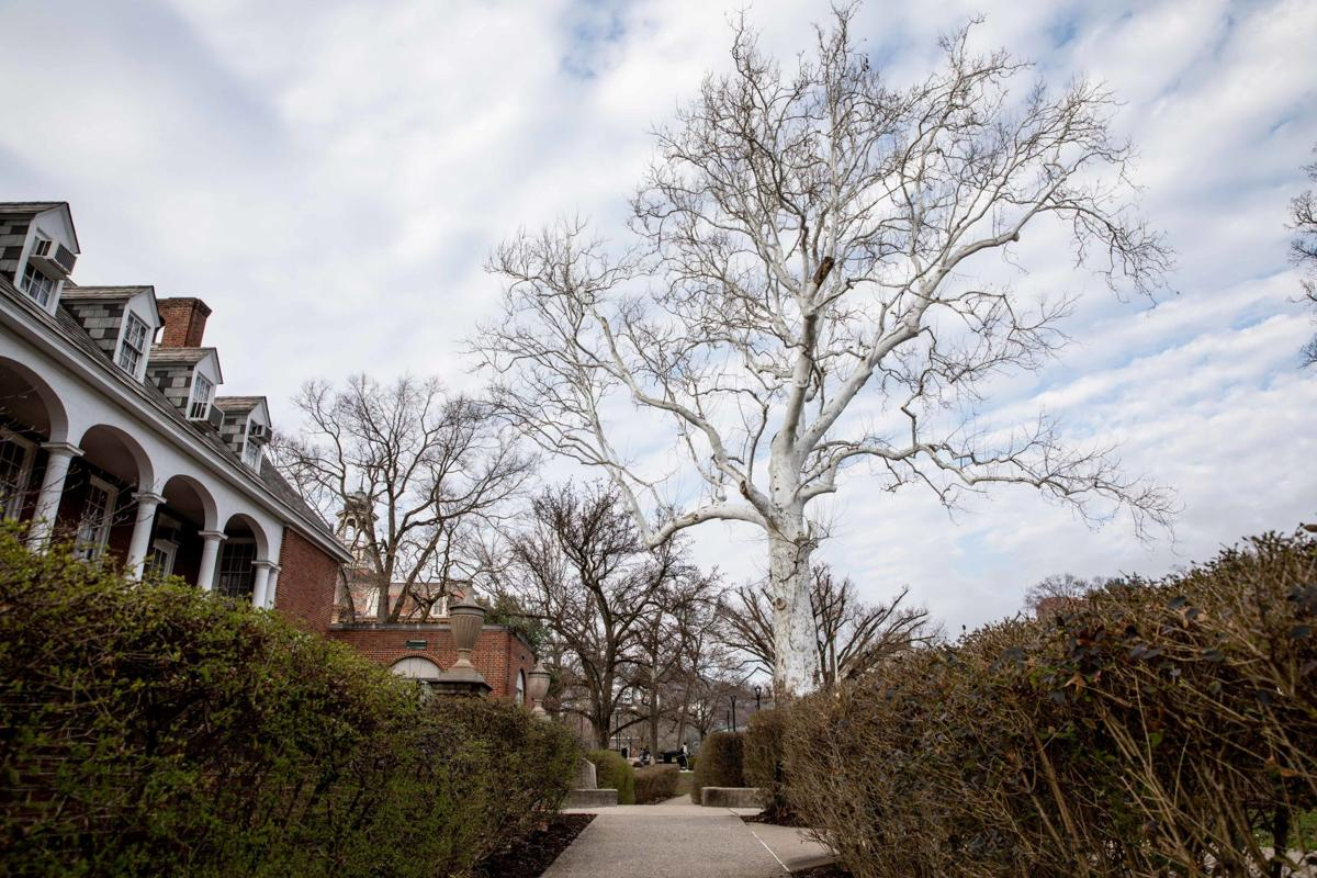The American sycamore in front of E. Moore Hall.