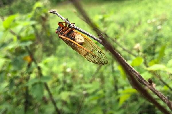 Zombie Cicada
