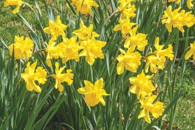 Venango Relay for Life teams selling daffodils