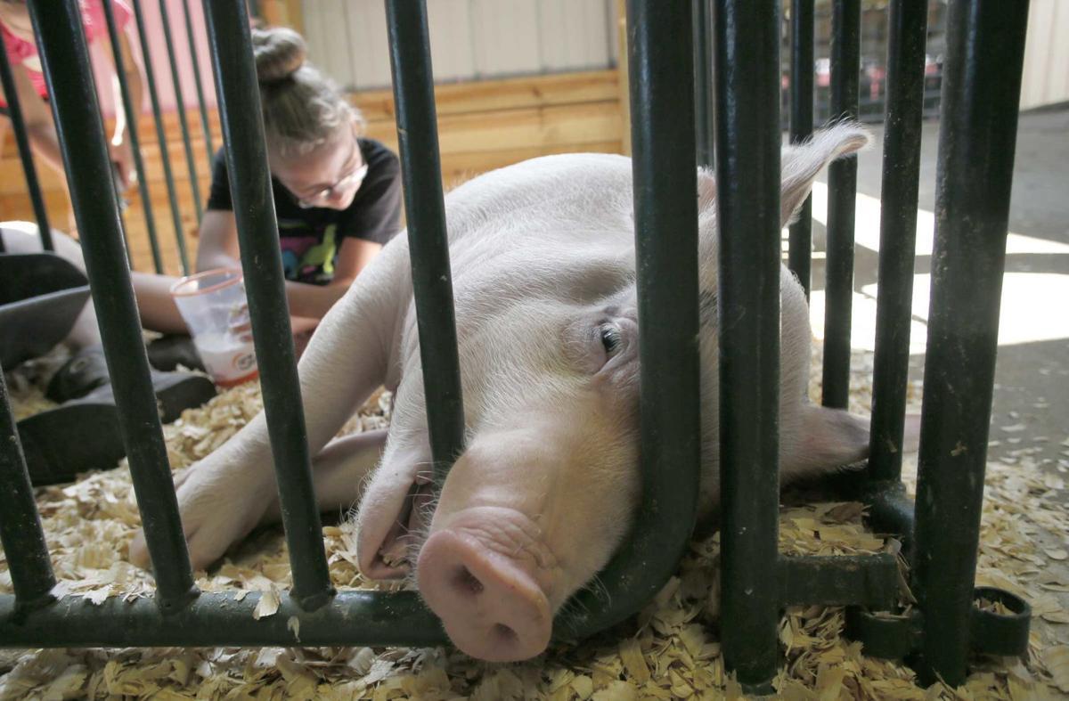 A swine time at the fair