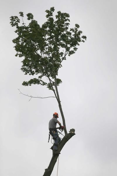 Tall tree in OC comes down