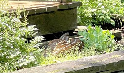 Look closely. Those spots you spot could be a fawn