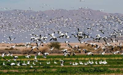 Birds Salton Sea