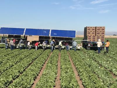Harvesting Romaine