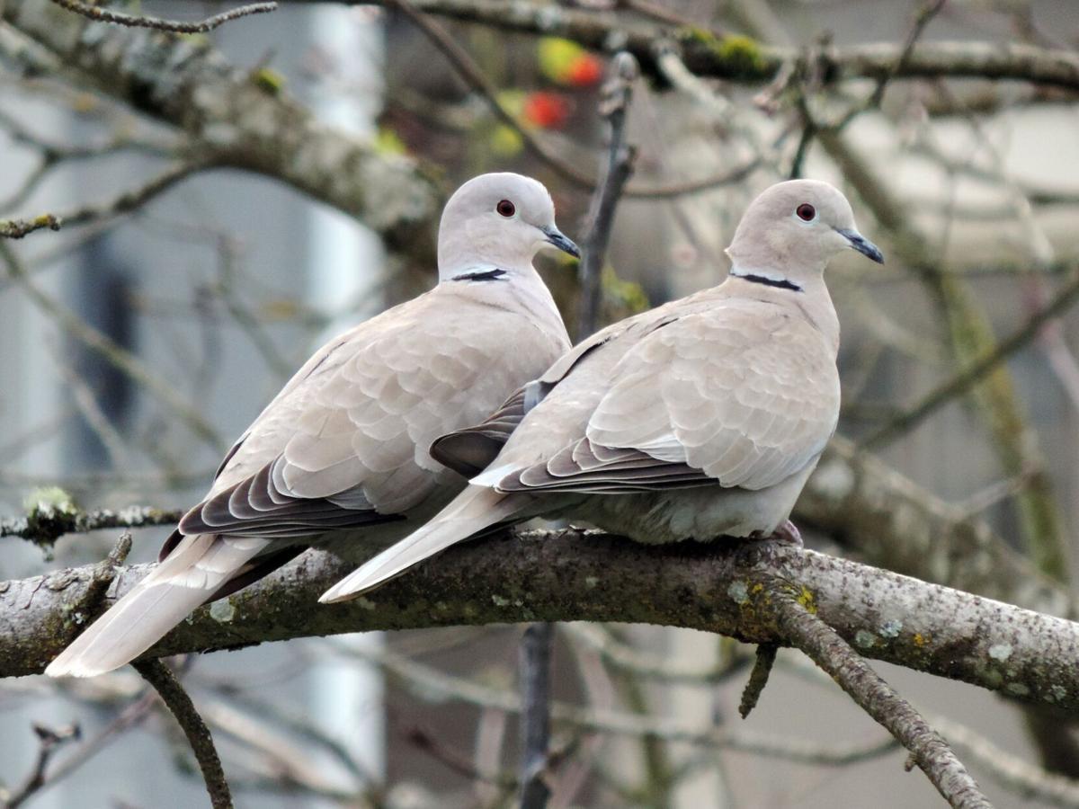 Eurasian Dove