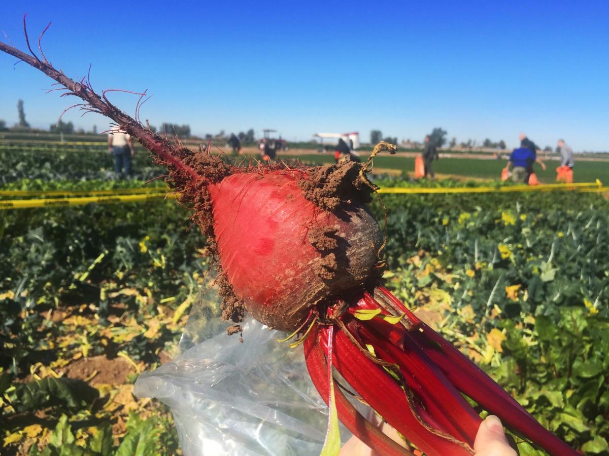 "Harvesting at the ""U-Pick"" garden"