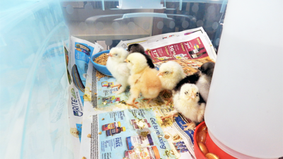 Chicks chirp up student interest at Fremont Primary