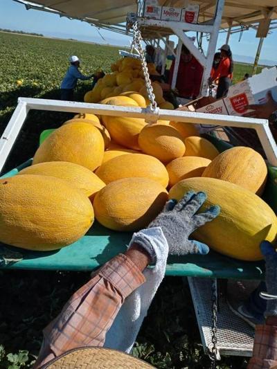 Five Crowns Hami melons
