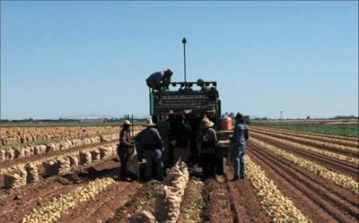 Imperial Valley Onion Farmers Report Improved Crop