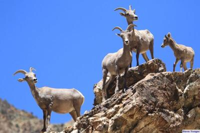 big horn sheep Reeves