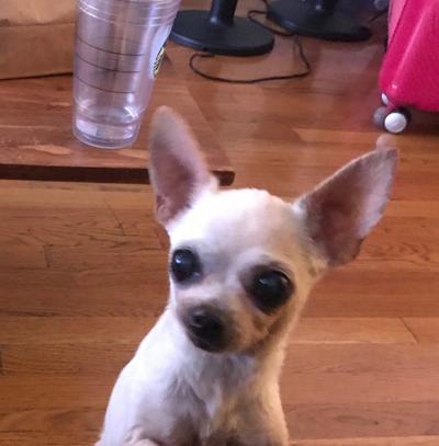 Lost in Silver Lake: Cream color Chihuahua