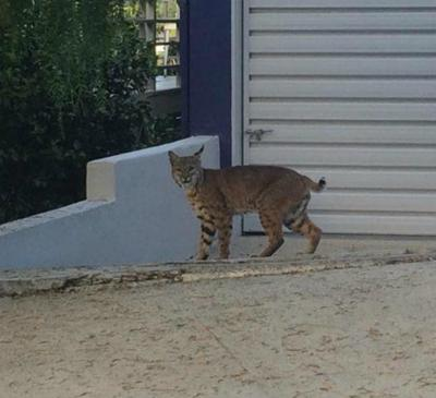 Yes, that was a bobcat on Talmadge Street