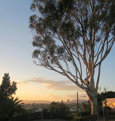 Elysian Park eucalyptus 728
