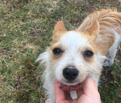 Found in Highland Park: Cream tan long-haired chihuahua mix puppy