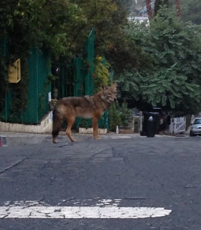 Confused coyote in Elysian Heights