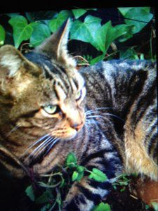 Lost: Tan and black striped cat in Silver Lake