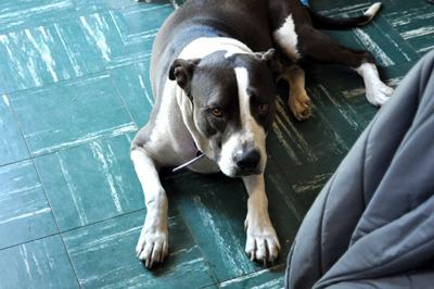 Lost in Silver Lake: Brown and white lab/pitbull mix went