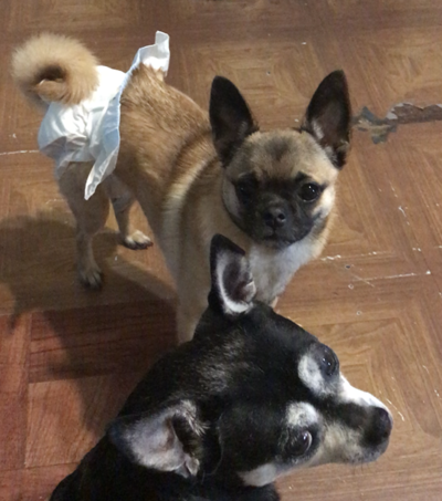 Lost in Atwater Village: Chihuahua pug mix