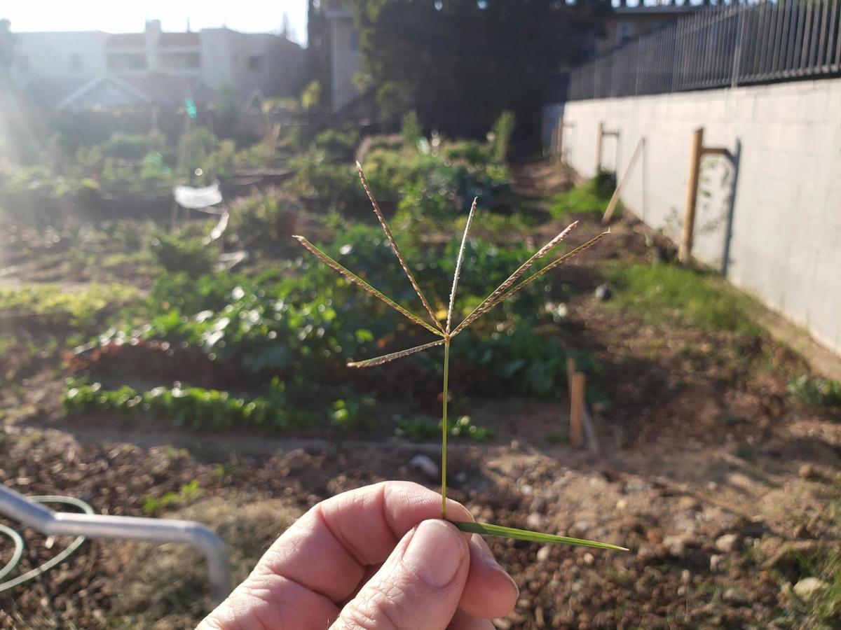 Crabgrass inflorescence