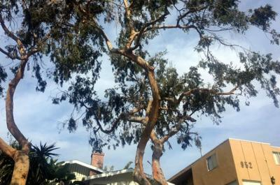 Viewpoint: Angeleno Heights resident says tree trimmers went too far