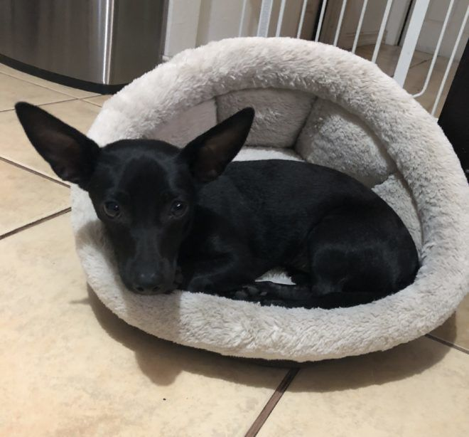 Found in Boyle Heights: Black chihuahua mix