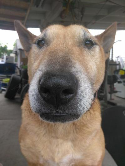 Lost in Elysian Valley: Brown, medium sized bull terrier mix